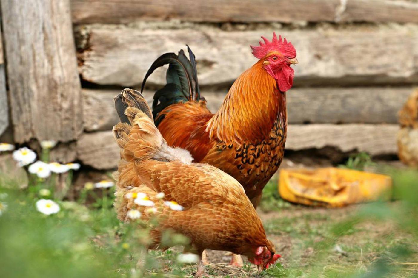 Morguefile-chickens